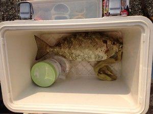最近の宮古島で釣れている魚たちです。2014年。