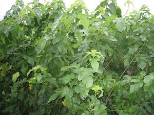 桑ジャングル