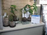 納豆菌の鉢