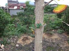 新芽が出ている銀杏