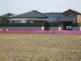 0410芝桜