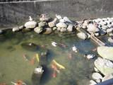 壇具川の鯉と鴨