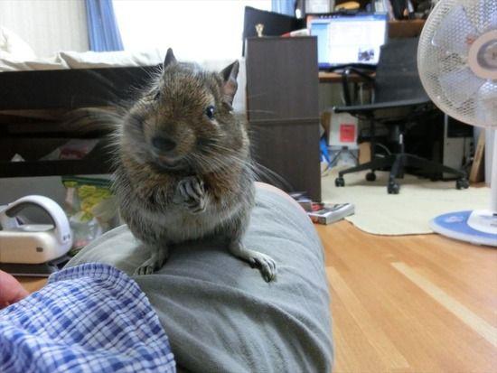 【悲報】VIPPER、ハムスターと騙されドブネズミを購入してしまうw