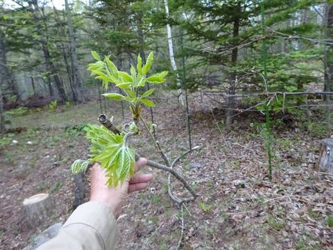 コシアブラと枝