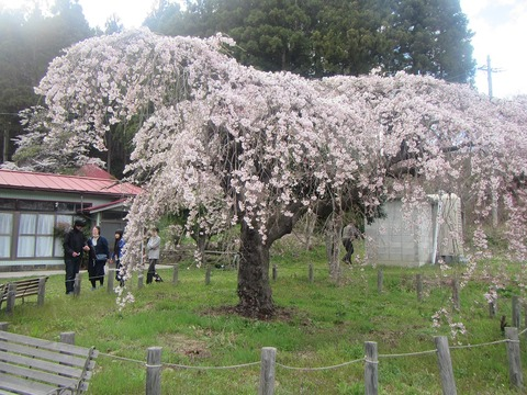永泉寺桜2