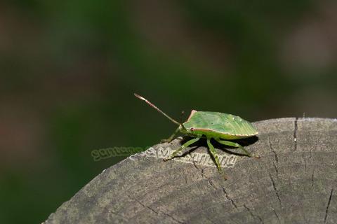 ヒメハサミツノカメムシ幼虫1
