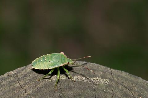 ヒメハサミツノカメムシ幼虫3