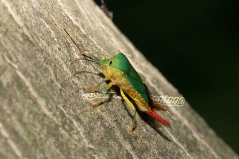 ヒメハサミツノカメムシ1