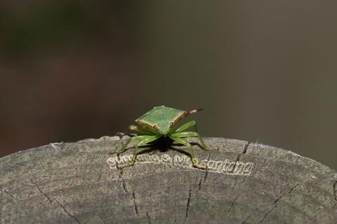 ヒメハサミツノカメムシ幼虫2