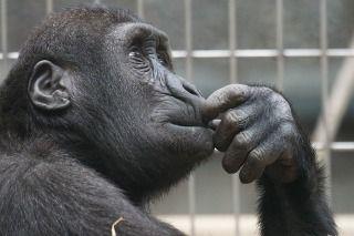 primate-1019101_640