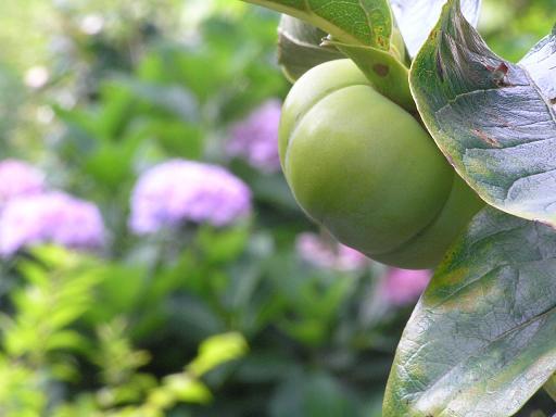 実家の庭のあじさいと柿で知る