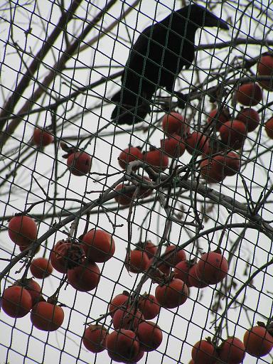 柿の実を食べるカラス