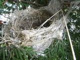 メジロの巣2