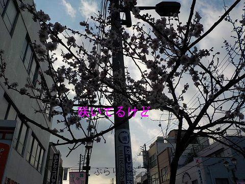 桜と思ったが梅なのかな