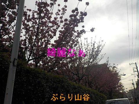 山谷ドヤ街玉姫公園の桜がまだ咲いていて綺麗