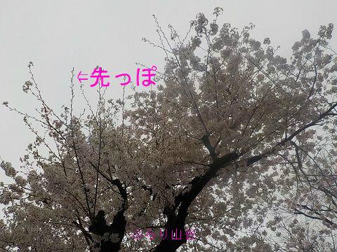 桜の木先っぽなつぼみ
