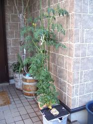 新しいミニトマト
