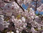 お向かいさんの桜