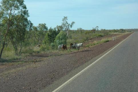 道路脇の牛
