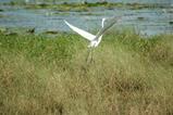スヲンプ白い鳥2