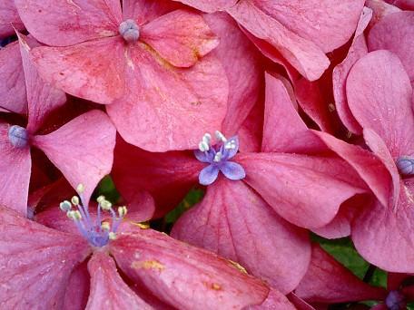 あじさいピンク花