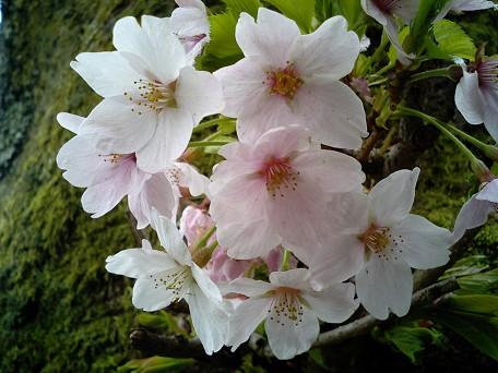 海津大崎4桜