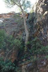 へばりつく木