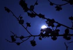 満月と梅の花s