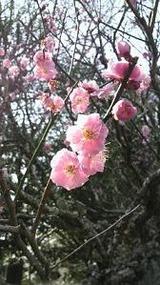 成田山の梅