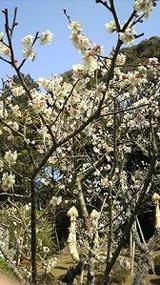 成田山の梅�