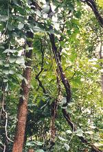 サラシアの樹