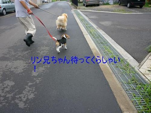 8月9日シンの散歩デビュ