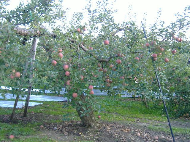 リンゴフジ