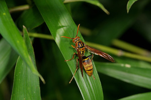 70ヤマトアシナガバチ