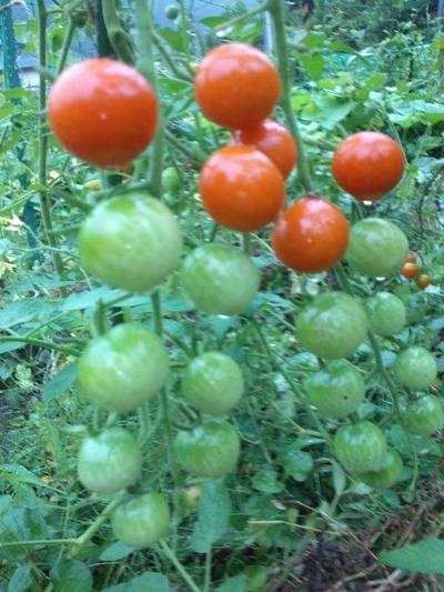 160815ミニトマト赤