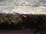 赤くて変な虫