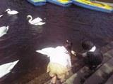 白鳥と子供