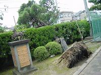 正門前の松の木倒れる(内側)