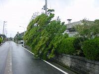 正門前の松の木倒れる