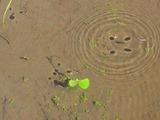 アメンボの影(写真)