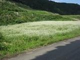 牛岳の休耕田に咲くそばの花