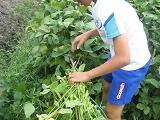 枝豆を収穫