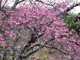今帰仁 桜