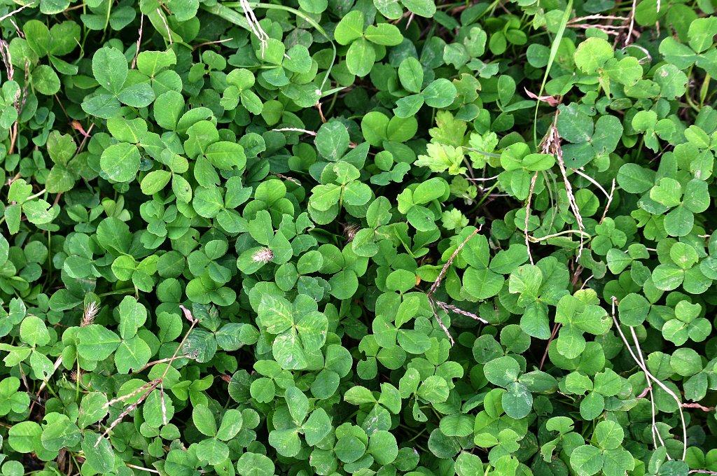 photo_四つ葉のクローバーを探せ