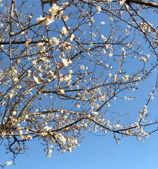 梅の花咲いた