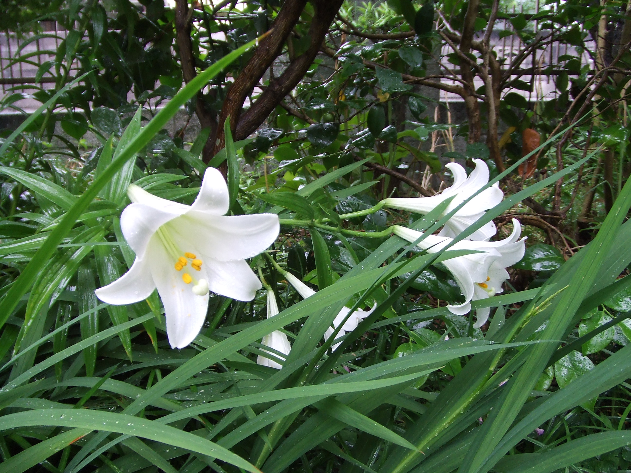 ユリの花が咲きました。 : わたしは英語で生きていく!