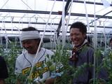 トマト収穫4