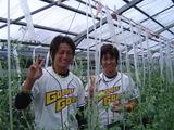 トマト収穫5