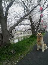 桜とまろん