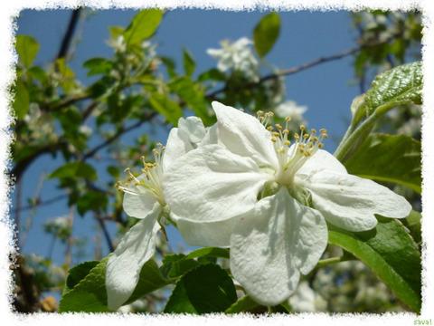バラ科の植物